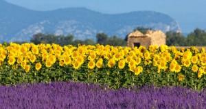 lavendel-veld-met-zonnebloemen-en-oud-huis