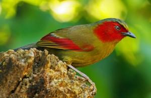 red faced liocichia